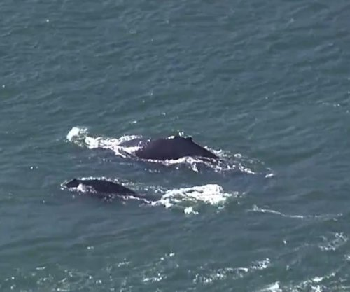 Humpback whales spotted swimming in San Francisco Bay