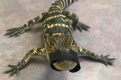 Police seize illegal alligator from New York state home