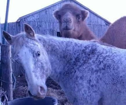 Blind horse guided by 'seeing eye camel' at Maine zoo