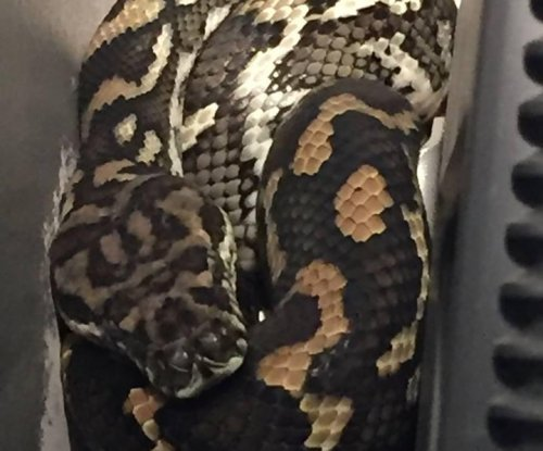 Carpet python coils up behind Australian family's TV