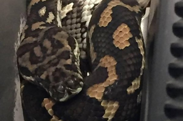 Look Carpet Python Coils Up Behind Australian Family S Tv