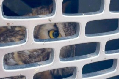 Owl rescued from front grill of pickup truck in Florida