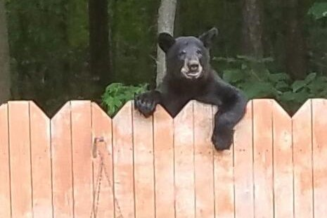Watch: Bear peeks over Virginia woman's fence - UPI.com