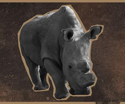 Last male northern white rhino joins Tinder for fundraiser to save species