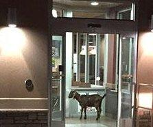 Police 'arrest' goat for loitering at Tim Horton's