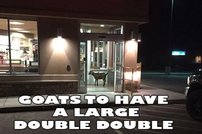 Police 'arrest' goat for loitering at Tim Horton's