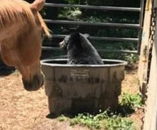 Bear visits with horses, takes bath in trough