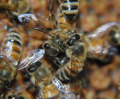 Grooming bees help boost colony immunity