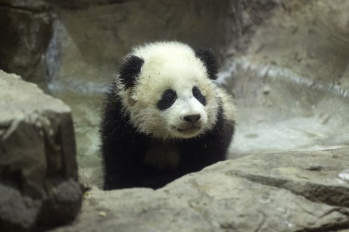 Bao Bao prepares for debut on Jan. 18