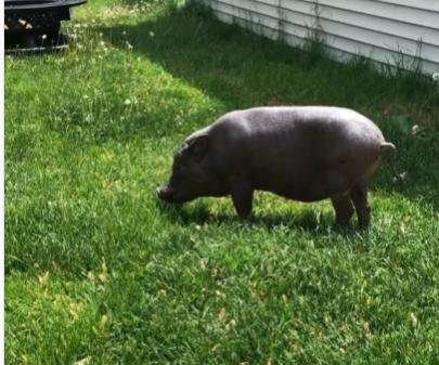 23-year-old pig dubbed the world's oldest by Guinness World Records