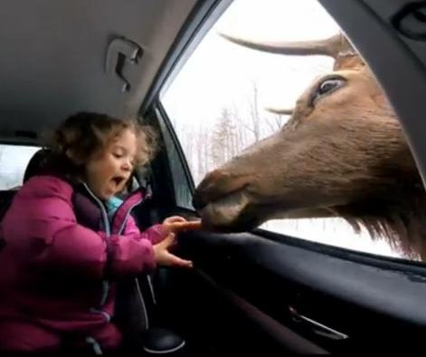 Deer pokes head in car to take carrots from enthusiastic young girl
