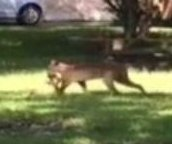 Squirrel-carrying bobcat becomes Dallas neighborhood celebrity