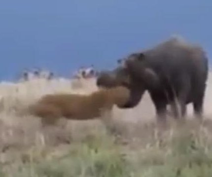 Lioness' ill-advised hippo hunting attempt almost ends in disaster