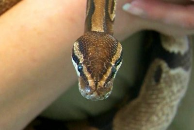 Python found after nearly a week on the loose in Wisconsin school