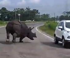 Road-raging rhinoceros runs loose on stretch of highway