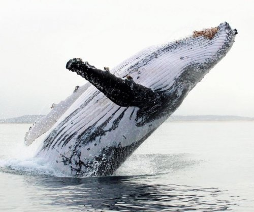 Humpback whale puts on a show for boats off Australian coast