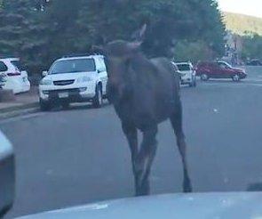 Moose filmed running through road in Colorado city