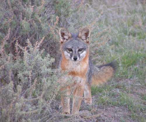 Pesticide used to treat ear mite infections in Catalina Island foxes