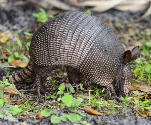 Spitting armadillos are spreading leprosy in Florida