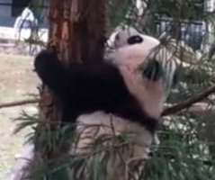 Giant panda cub ventures outside for the first time