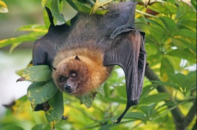 Planned flying fox cull will harm endangered species, scientists warn