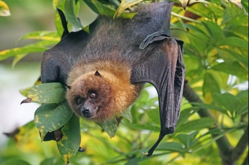 Flying fox cull will harm endangered species: scientists warn