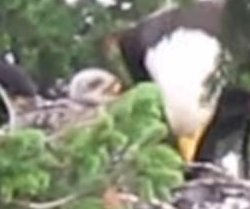 Eagles spotted raising baby hawk with their eaglets