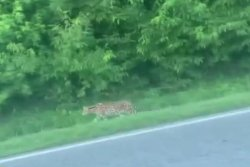 Serval escapes North Carolina petting zoo with help from pig