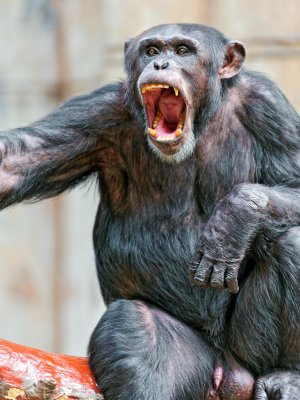 Study: Chimps are natural born killers