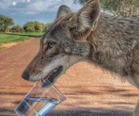 Golfers offer water to wounded coyote on Arizona golf course
