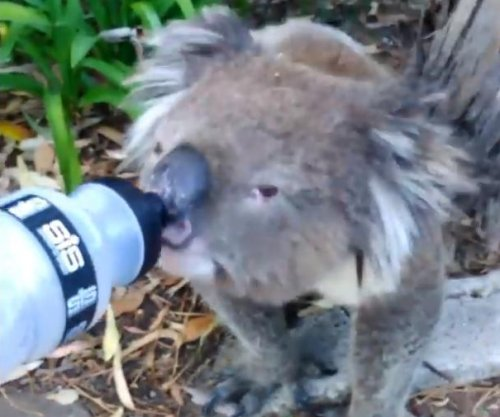 Cyclist stops to give a drink to thirsty koala