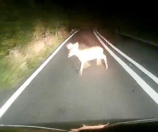 Lucky deer saved by driver's quick reflexes
