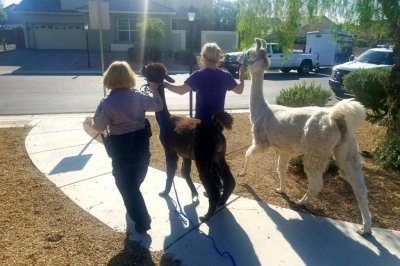 Watch:-Llamas-escape-from-Las-Vegas-home,-go-for-a-walk