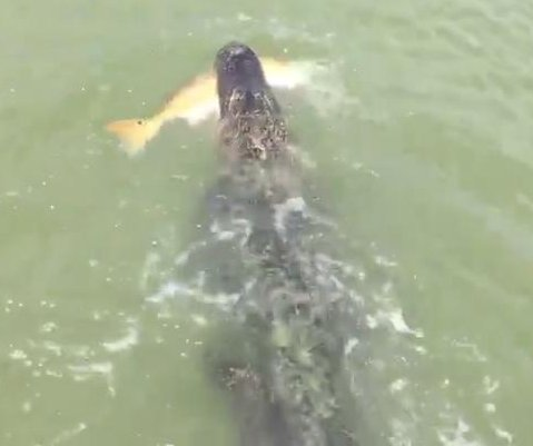 Thieving alligator steals large fish from young fisherman's line