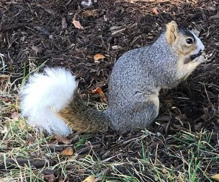 University of Houston mourns 'campus legend' white-tailed squirrel