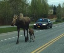 Mother moose and newborn calf get police escort to woods