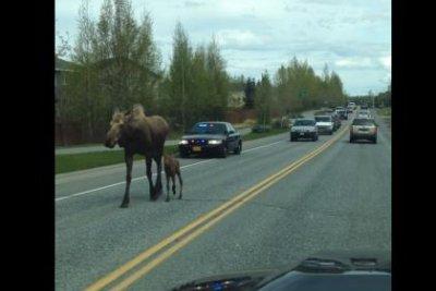 Mother moose and newborn calf get police escort to woods
