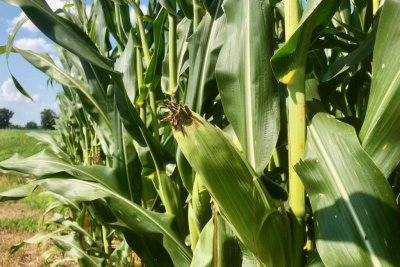 Midwest farmers hope trade deal with Mexico will rescue corn prices