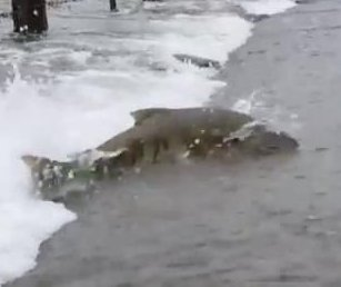 Salmon struggles to cross flooded road in Washington state