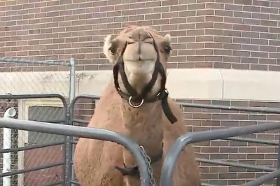 'Camel of Honor' takes part in 'hump day' wedding