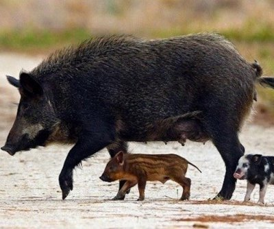 Scientists investigate the success of wild pig invasions