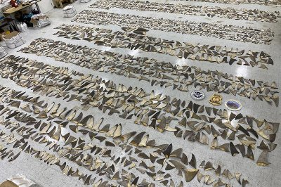 Agents bust international shark finning, drug trafficking ring