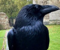 Tower of London raven presumed dead after multi-week absence