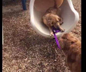 Golden retriever teaches puppy how to use a slide