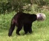 Colorado man lassoes, wrestles bear with Cheese Balls jug stuck on its head
