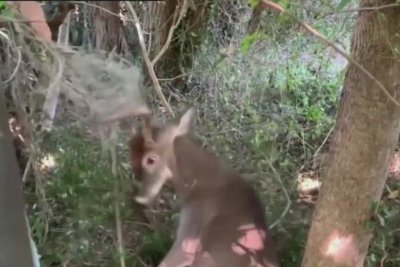 Deer rescued from lacrosse net in New York state back yard