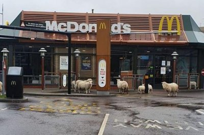 Sheep take over parking lot of closed McDonald's in Wales