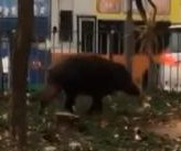Wild boar surprises locals with visit to urban area