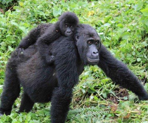 Genomic analysis details eastern gorilla's declining genetic health