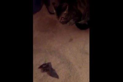 Florida man loses his cool when cat brings in live bat